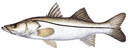 Southwest Florida Saltwater Fish - Common Snook