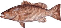 Southwest Florida Saltwater Fish - Cubera Snapper