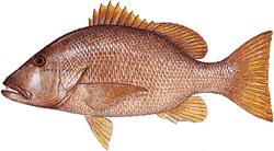 Southwest Florida Saltwater Fish - Dog Snapper