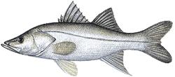 Southwest Florida Saltwater Fish - Fat Snook
