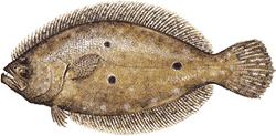 Southwest Florida Saltwater Fish - Flounder