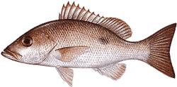 Southwest Florida Saltwater Fish - Mohogany Snapper