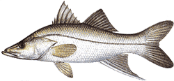 Southwest Florida Saltwater Fish -