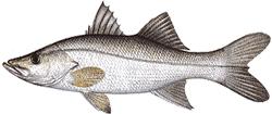 Southwest Florida Saltwater Fish - Tarpon Snook