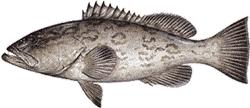 Southwest Florida Saltwater Fish - Gag Grouper