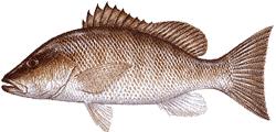 Southwest Florida Saltwater Fish - Gray Snapper