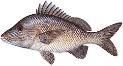 Southwest Florida Saltwater Fish - Grunt