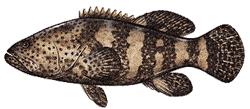 Southwest Florida Saltwater Fish - Goliath Grouper