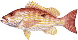 Southwest Florida Saltwater Fish - Lane Snapper