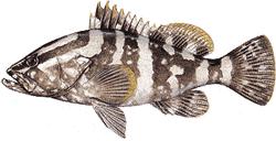 Southwest Florida Saltwater Fish - Nassau Grouper