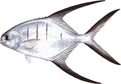 Southwest Florida Saltwater Fish - Palometa