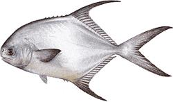 Southwest Florida Saltwater Fish - Permit