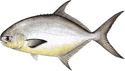 Southwest Florida Saltwater Fish - Pompano