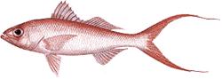 Southwest Florida Saltwater Fish - Queen Snapper