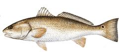 Southwest Florida Saltwater Fish - Red Drum