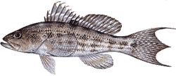 Southwest Florida Saltwater Fish - Rock Sea Bass