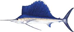 Southwest Florida Saltwater Fish - Sailfish