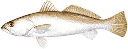 Southwest Florida Saltwater Fish - Sand Sea Trout