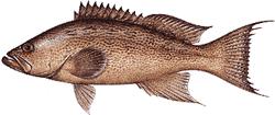 Southwest Florida Saltwater Fish - Scamp Grouper