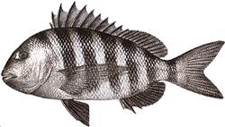 Southwest Florida Saltwater Fish - Sheepshead