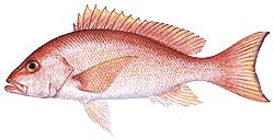 Southwest Florida Saltwater Fish - Silk Snapper