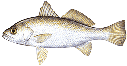 Southwest Florida Saltwater Fish - Silver Perch