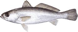 Southwest Florida Saltwater Fish - Silver Sea Trout