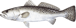 Southwest Florida Saltwater Fish - Spotted Sea Trout