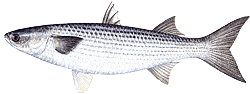 Southwest Florida Saltwater Fish - Color bluish-gray or green above, shading to silver on sides, with indistinct horizontal black barrings, white below; fins lightly scaled at base, unscaled above; blunt nose and small mouth; second dorsal fin originates behind that of the anal fin.