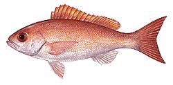 Southwest Florida Saltwater Fish - Vermilion Snapper