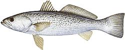 Southwest Florida Saltwater Fish - Weakfish
