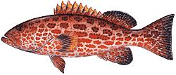 Southwest Florida Saltwater Fish - Yellow Fin Grouper