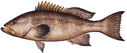 Southwest Florida Saltwater Fish - Yellow Mouth Grouper